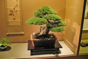 Дуже добре виглядає дерево бонсай на дерев'яній або кованої підставці